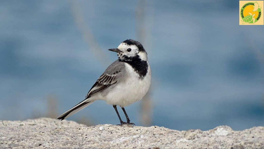 Naxos birds 10