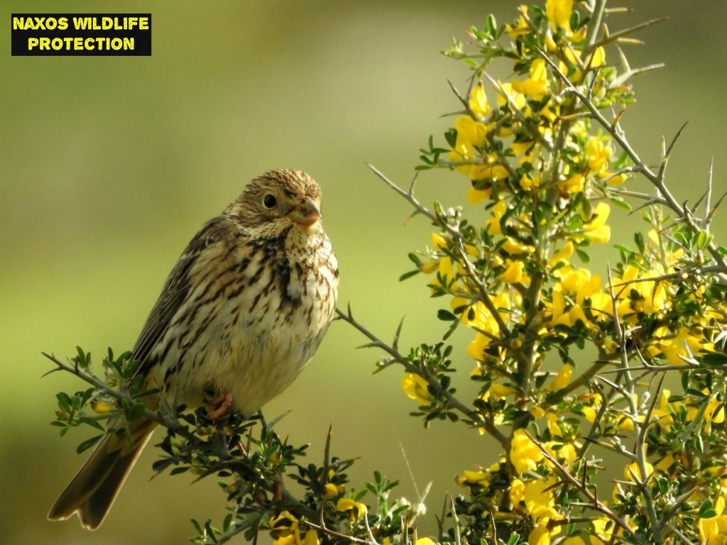 Naxos birds 11