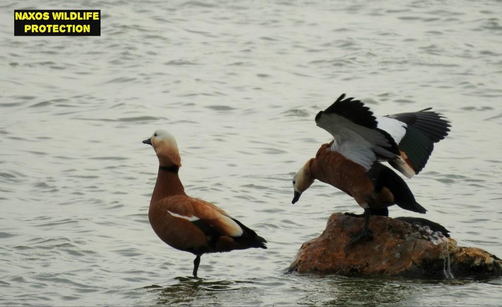 Naxos birds 17