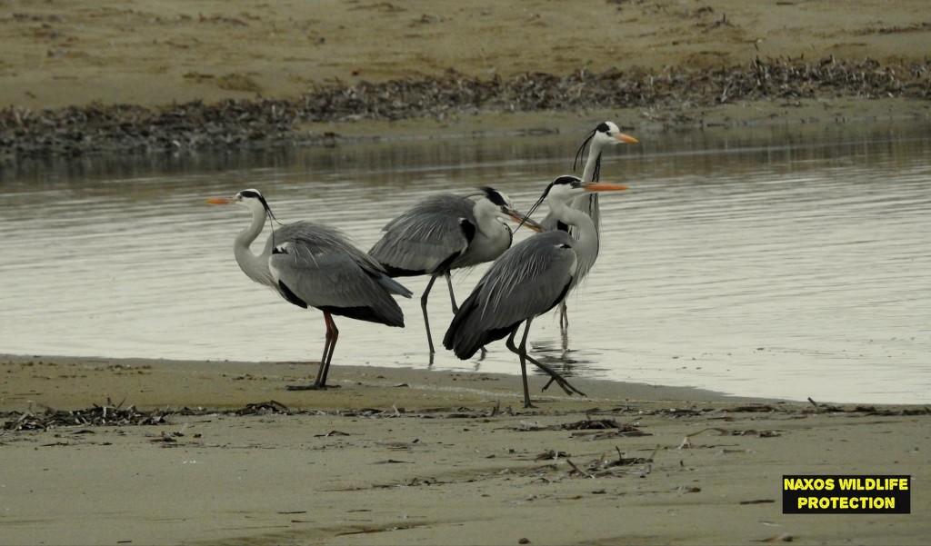 Naxos birds 18