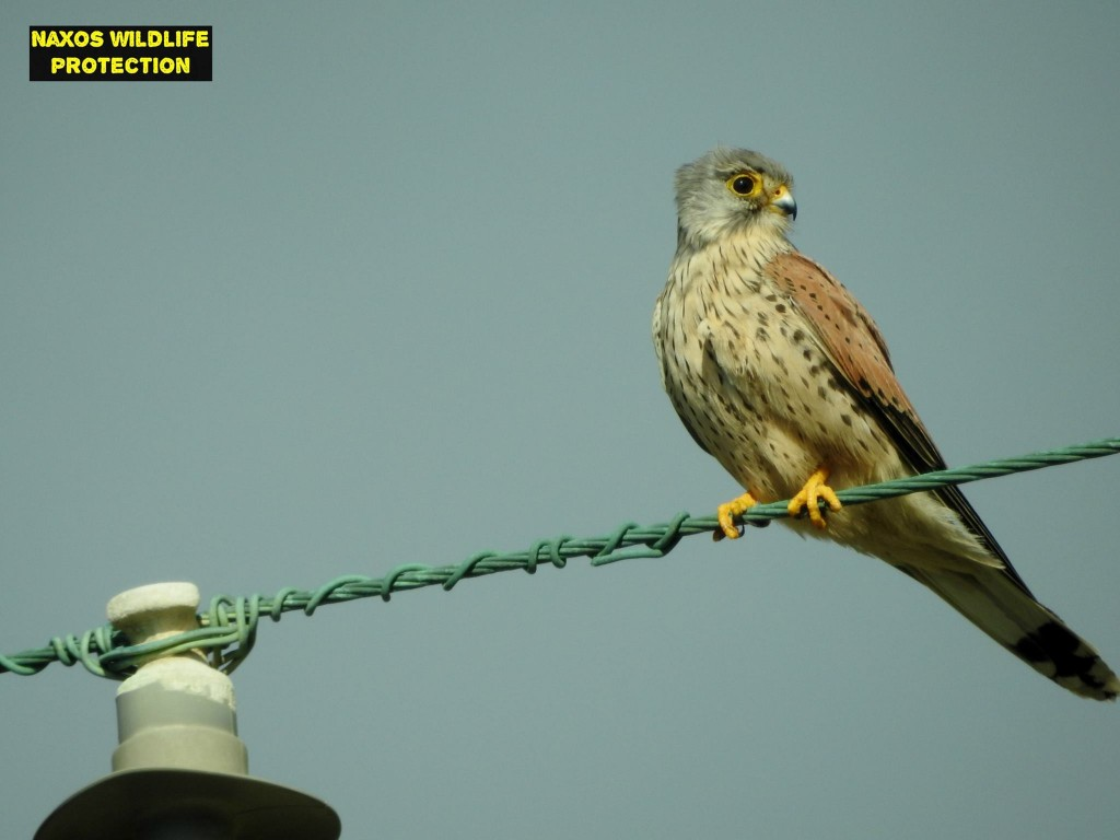 Naxos birds 6