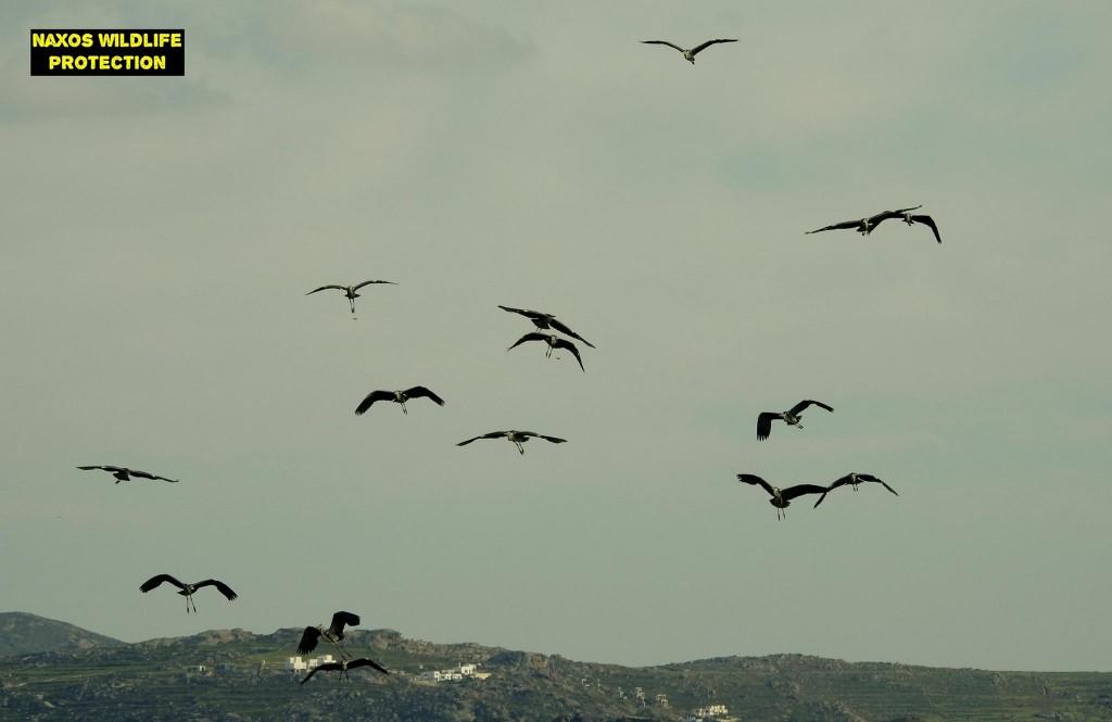 Naxos birds 9