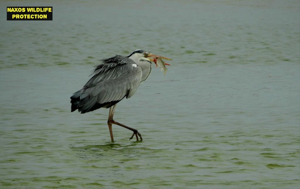 Naxos birds 5